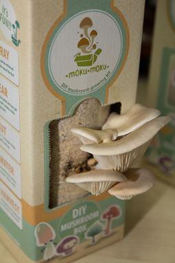 Abalone Mushroom (Pleurotus Abalonus)