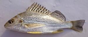 Ikan Gerut/Saddle Grunt