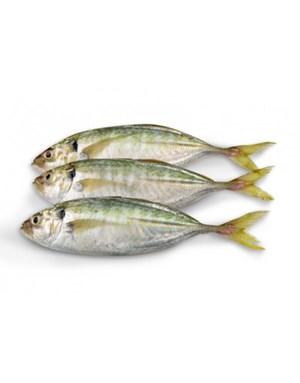 Ikan Selar besar
